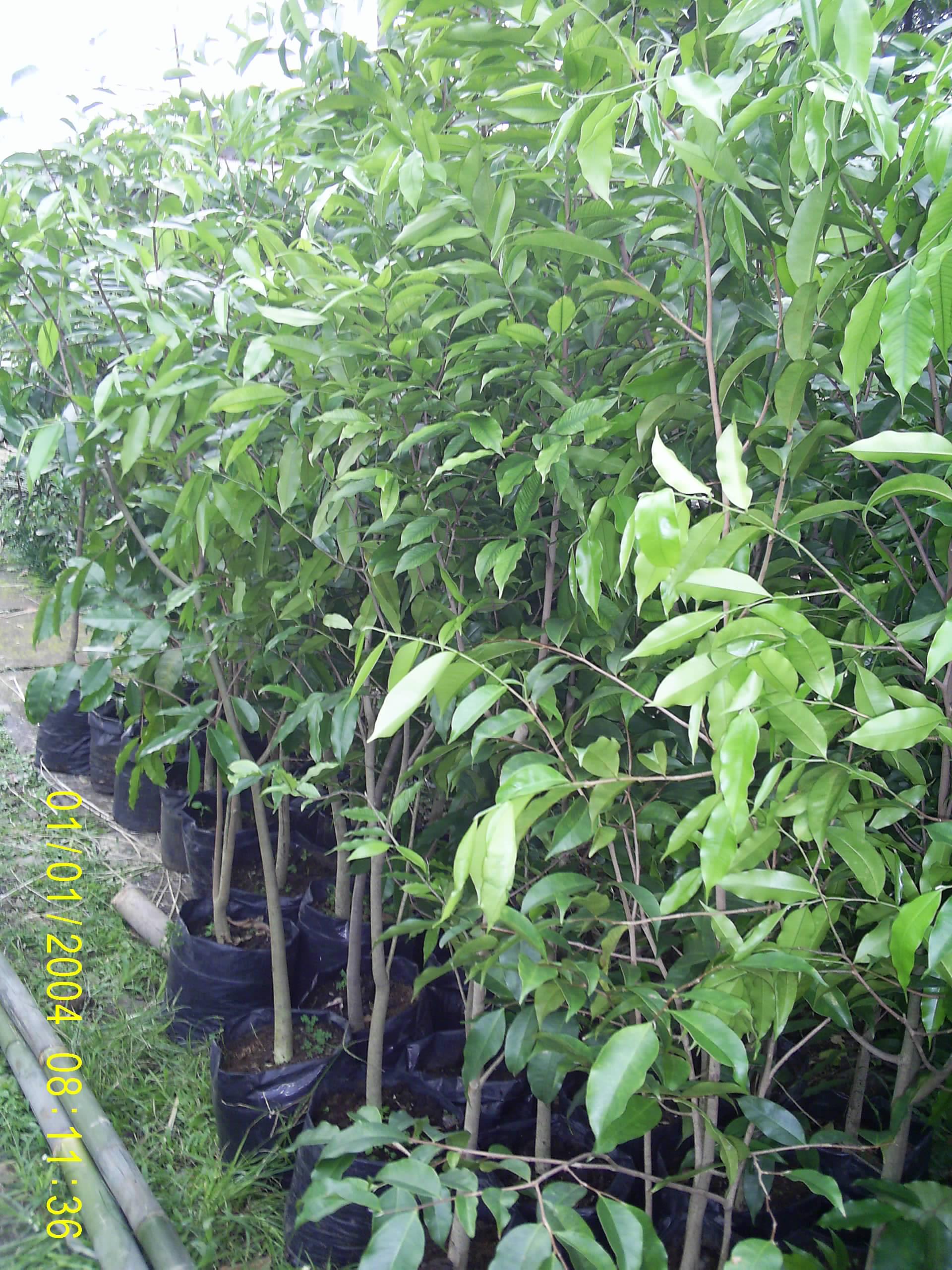 Jual Pohon Gaharu