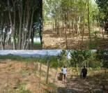 agarwood_plantation