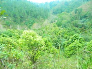agarwood plantation